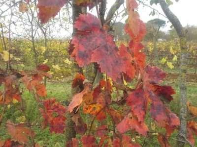 Foglie di vite in autunno