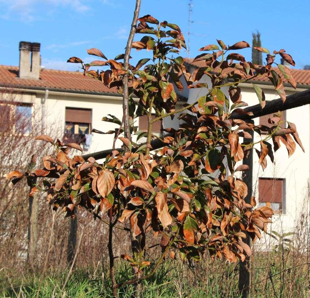 Attuale stato dell'albero di Canfora nel Bosco di Ogigia