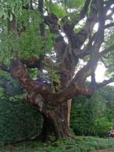 L'albero di Canfora sull'Isola Bella nel Lago Maggiore