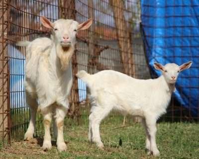 Le capre vicine di casa del Bosco di Ogigia