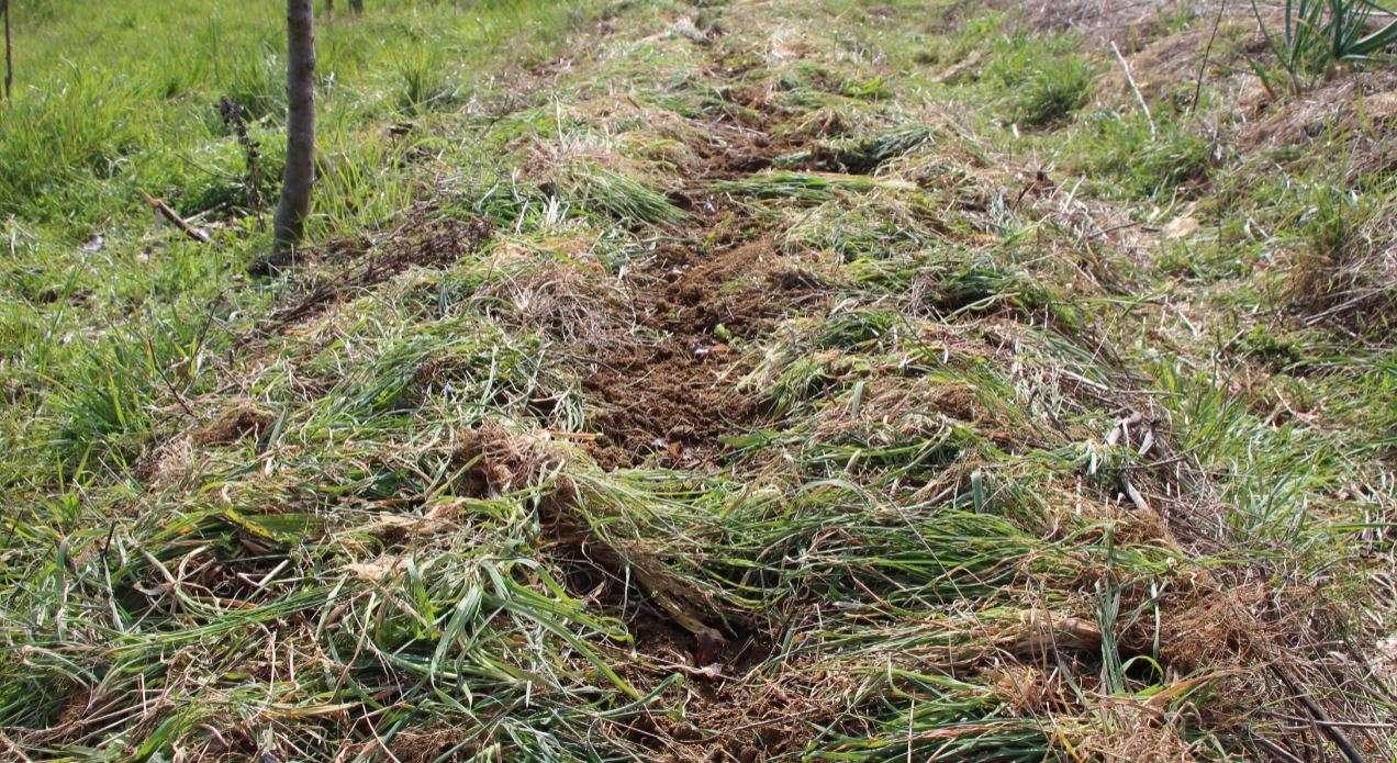 Bancale con insalatine appena piantate e pacciamatura di erbe spontanne
