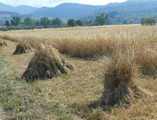 La raccolta del grano negli anni '50 in Valdichiana Lavori notturni e ricordi di guerra