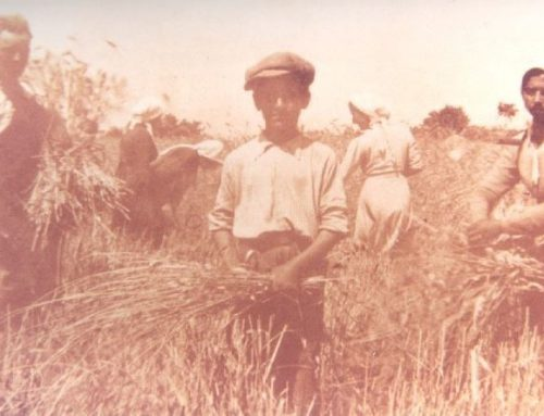 Come ci si preparava alla mietitura La produzione del grano in Valdichiana negli anni '50