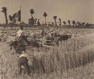 Mietitura del grano Italia, 1942. Autore Ernesto Fazioli