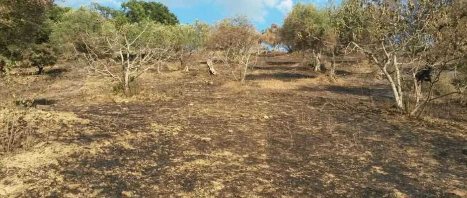 Oliveto incendiato in Cilento