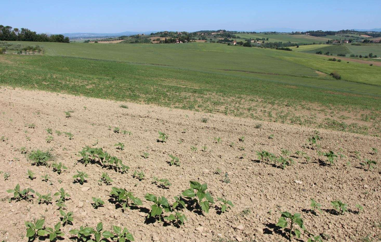 Campo seminato, ma i girasoli non sono nati