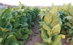 Terreno compattato in un campo di tabacco in Valdichiana