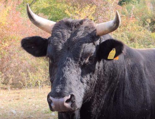 Allevamento dei bovini in Toscana Ricordi di vita e lavoro contadini