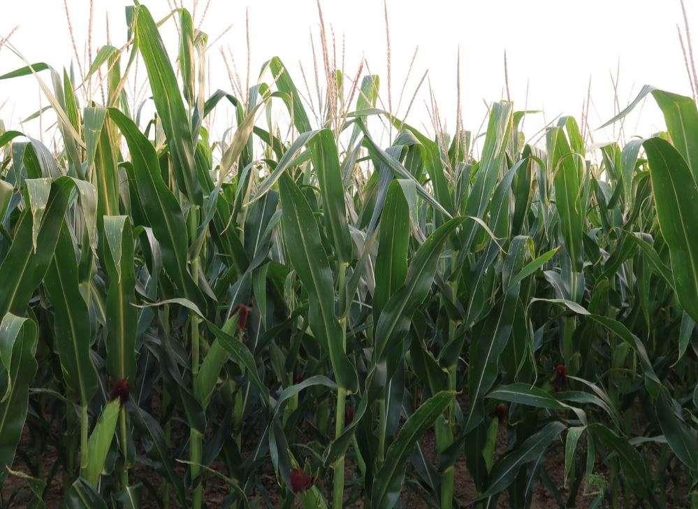 Il mais ha bisogno di piogge estive