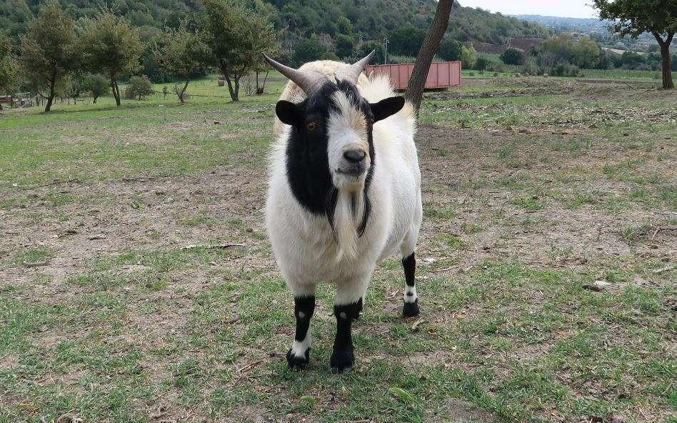 Anche le capre potrebbero essere utilizzate nei pascoli cittadini