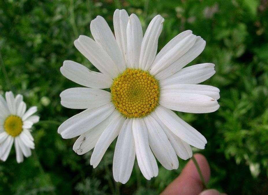 Fiore di piretro, Tanacetum cinerariifolium