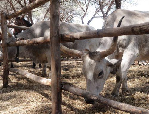 La doma dei bovini per arare i campi Allevamento in Toscana negli anni '40 e '50