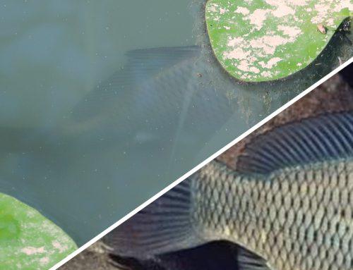 Pesce misterioso nello stagno: è una carpa regina? La vita alla conquista degli ambienti