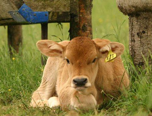 La nascita del vitellino L'allevamento dei bovini in Valdichiana