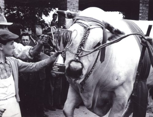 Il gigante bianco della Valdichiana Come venivano allevati i bovini di razza chianina