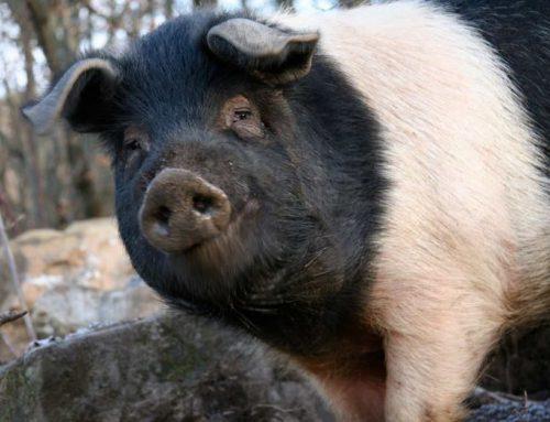 La fiera delle bestie e il maiale da ingrasso Allevamento e consumo nei poderi della Valdichiana