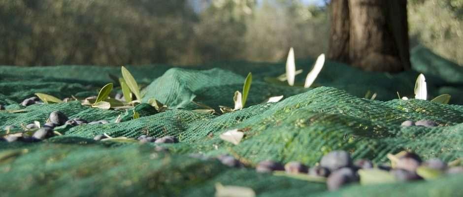 Raccolto di olive