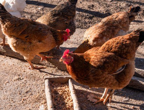 Le galline e l'eclissi di sole L'allevamento degli animali da cortile in Valdichiana