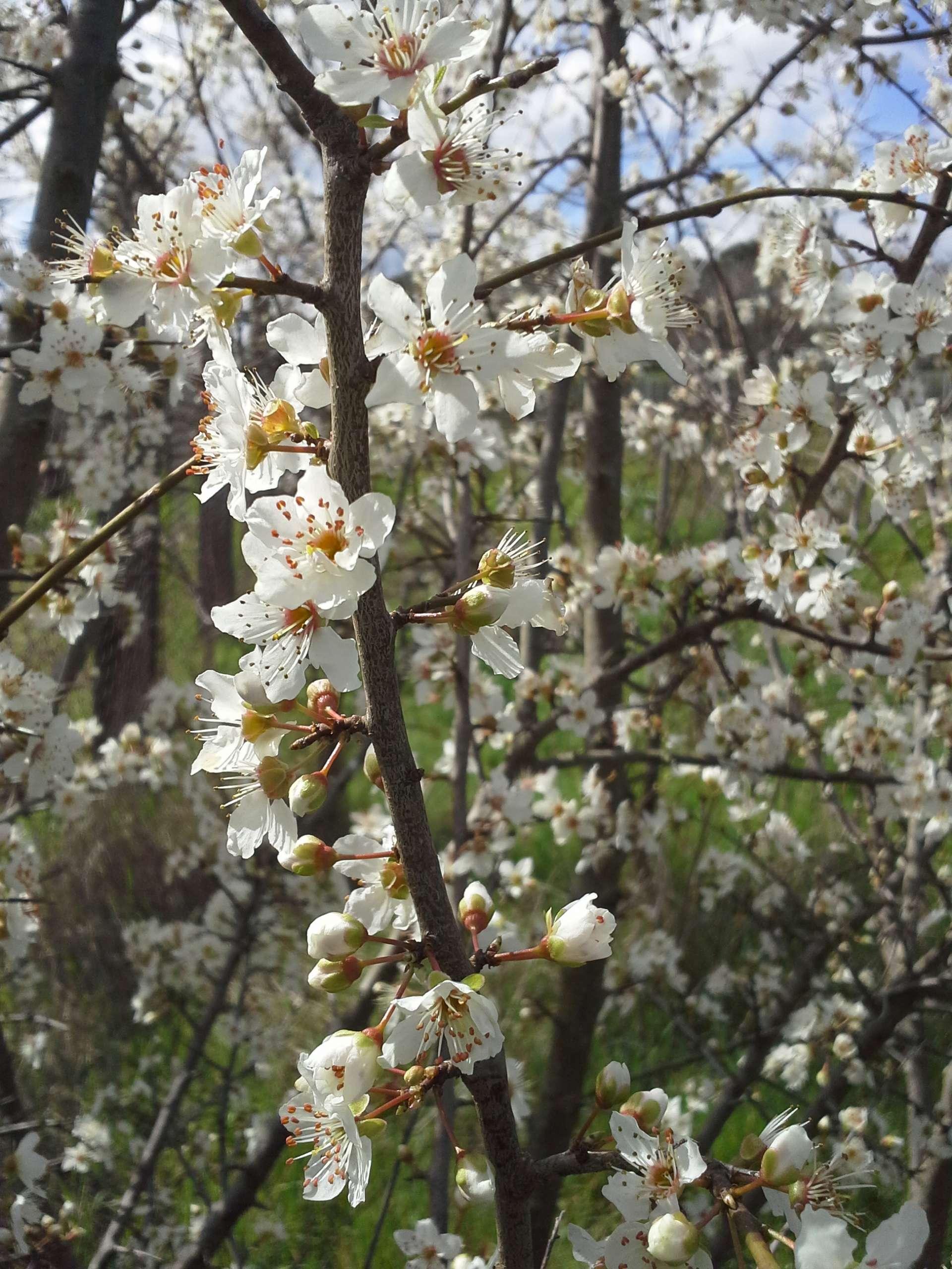 Mirabolano in fiore