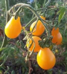 Pomodori lampadina