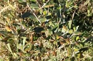 olivo greco
