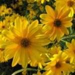 I fiori e i tuberi del topinambur