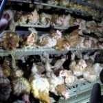 Perché comprare uova di galline felici