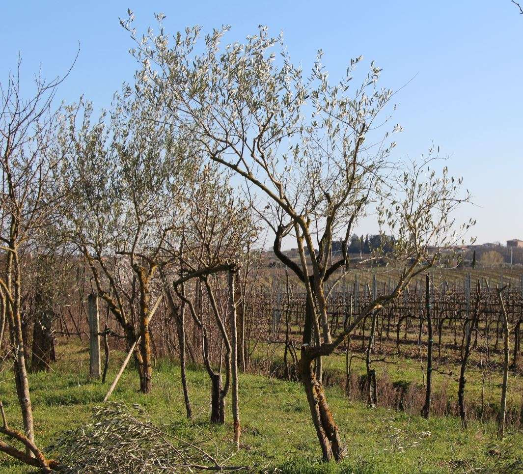 Olivi del Bosco di Ogigia