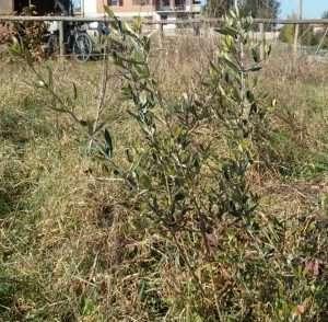 Piccolo olivo greco