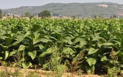 Campo di tabacco