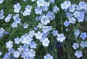 Pianta del lino in fioritura