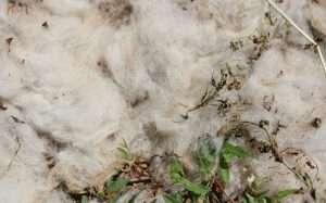 La lana limita la crecita delle erbe spontanee, ma anche delle piante che abbiamo seminato