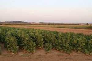 Le campagne a cui siamo abituati alternano colture e spazi vuoti, il terreno resta sempre nudo