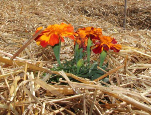 Pacciamatura: perché è importante coprire la terra La pratica di cui l'agricoltura non può fare a meno