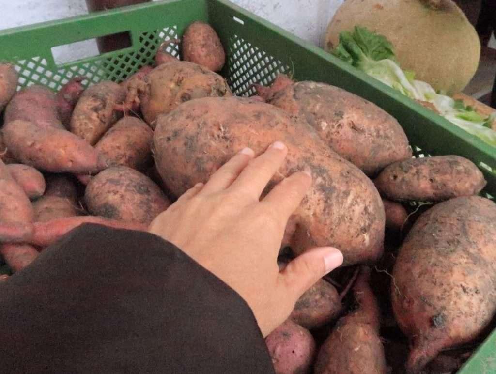 Patate dolci coltivate nell'azienda