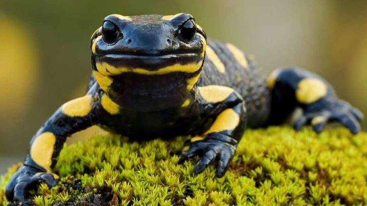 Dove c'era acqua le salamandre erano molto comuni