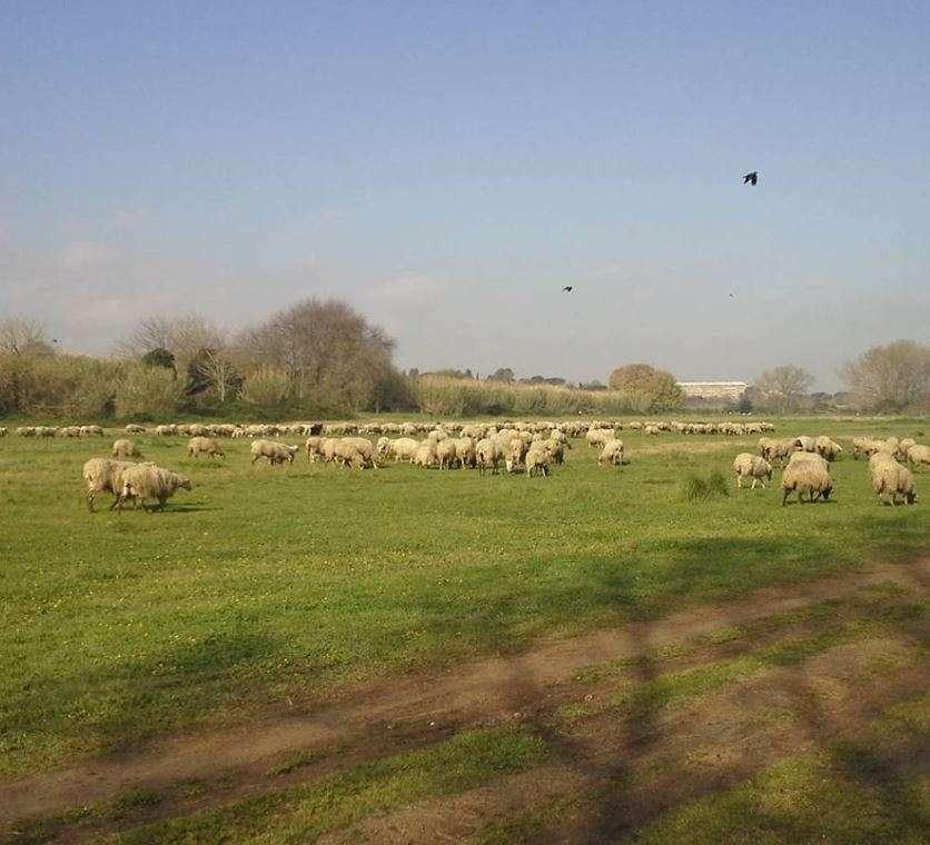 pecore nel parco della Caffarella
