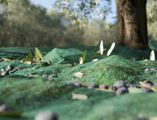Xylella non uccide da solo Riflessioni sull'epidemia degli olivi pugliesi