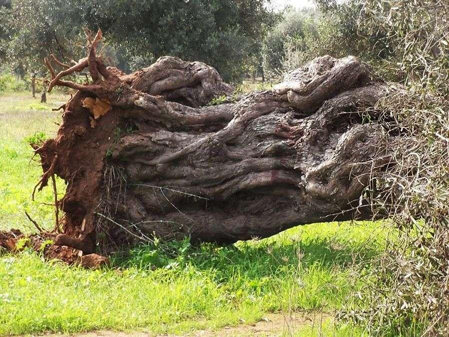 Olivo abbattuto