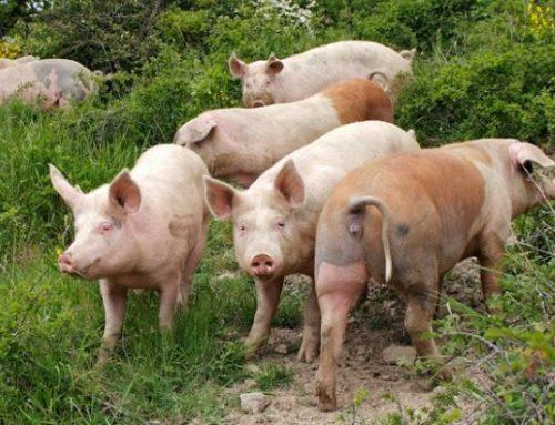 Lo strutto, i fegatelli e i capocolli Utilizzi del maiale in Valdichiana negli anni '40 e '50