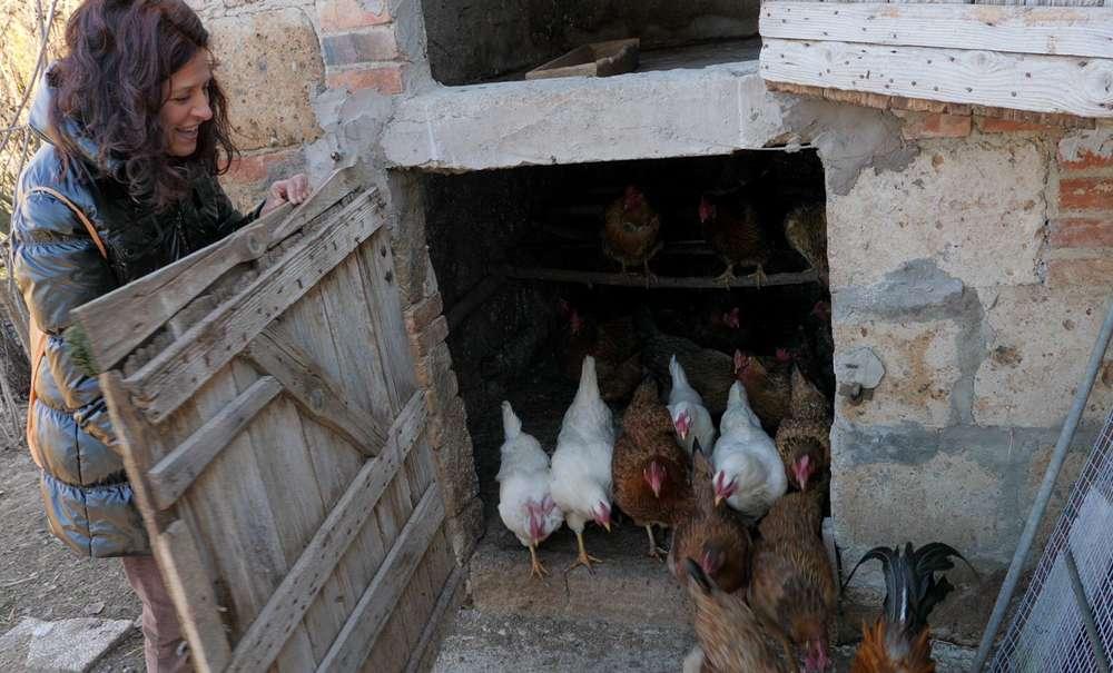 Le galline escono di corsa dal pollaio
