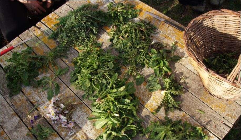 Raccolto di erbe spontanee
