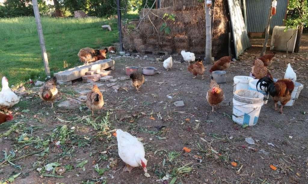 Vita nel pollaio