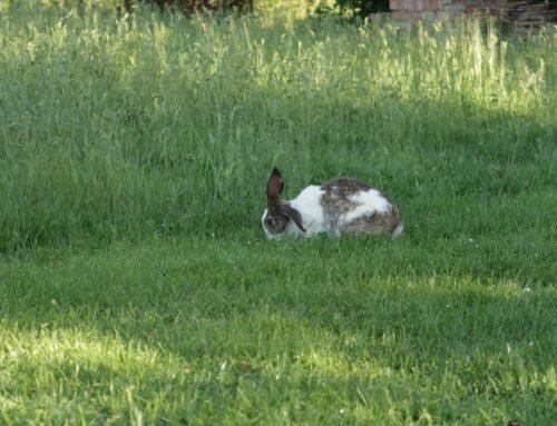 L'erba per i conigli e le foglie per i bachi da seta L'allevamento in Valdichiana negli anni '50