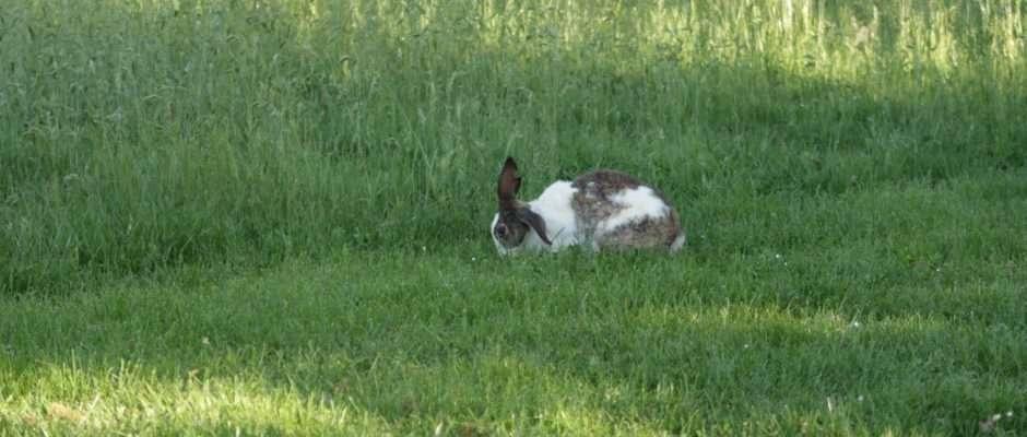 Coniglio allevato a terra