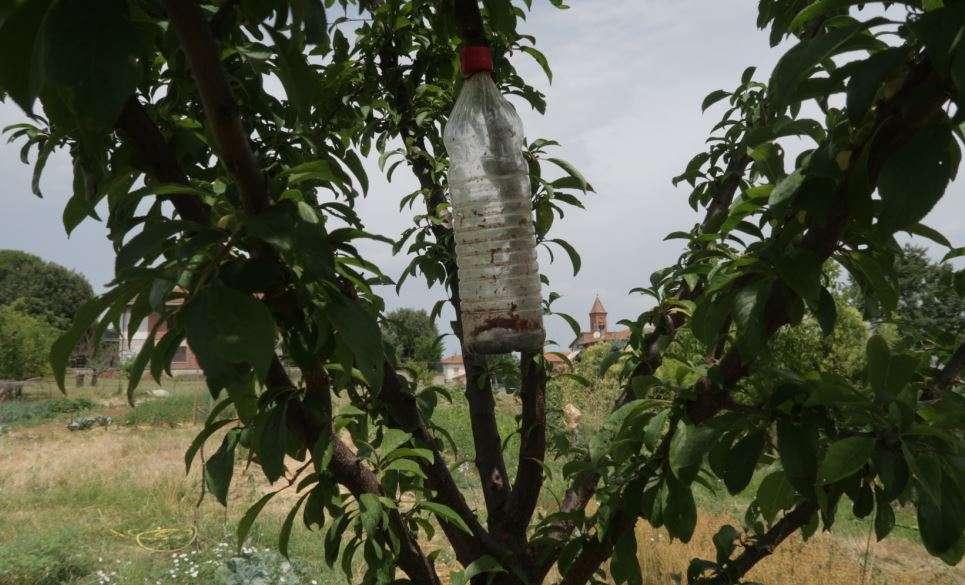Bottiglia cattura mosche su un susino